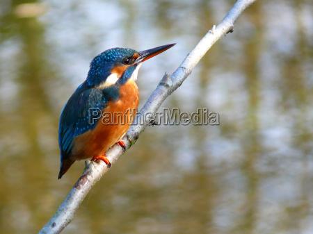 kingfisher, (female) - 1107449
