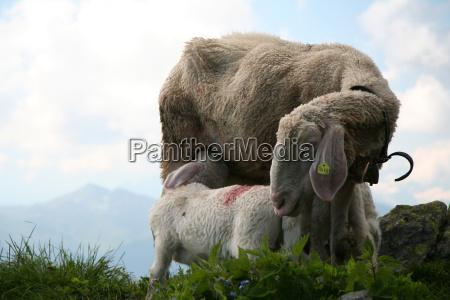 mountains alp sheep suck suckle meadow