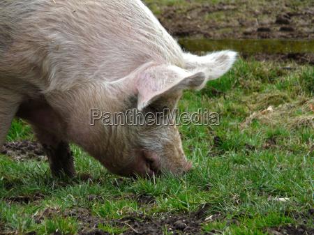 had a pig