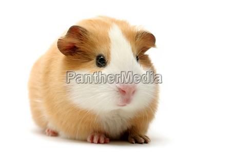 guinea pig on white