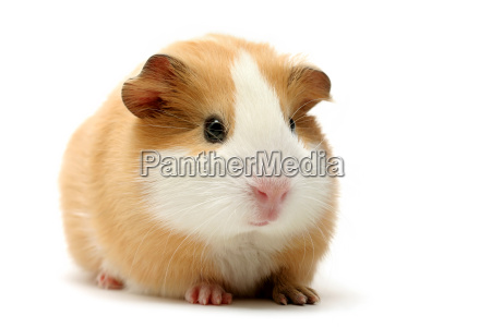 guinea, pig, on, white - 1133151