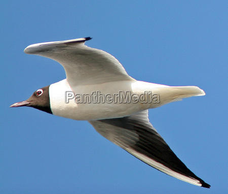 gull wildlife
