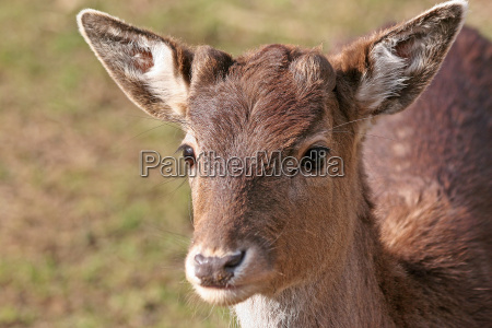 animal wild portrait eyes roebuck roe