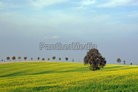 tree agriculture farming fields mustard dyer