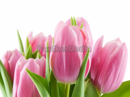 tulip - 1160981