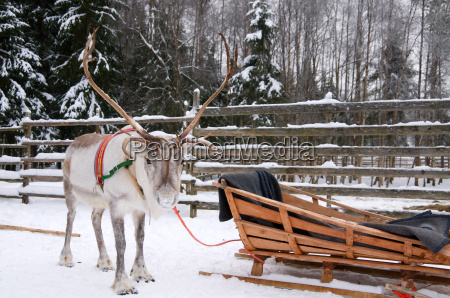 reindeer at the polarkreis