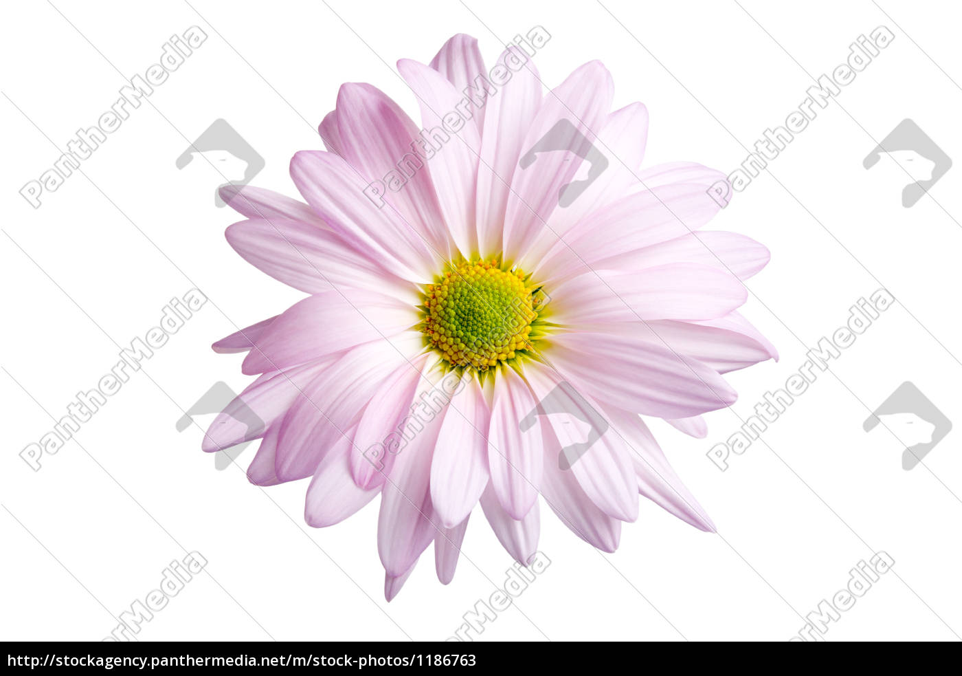 daisy, isolated - 1186763