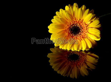 the small yellow gerbera looking for