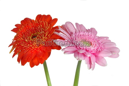 gerbera in duo
