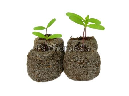 tagetes, seedlings - 1202351