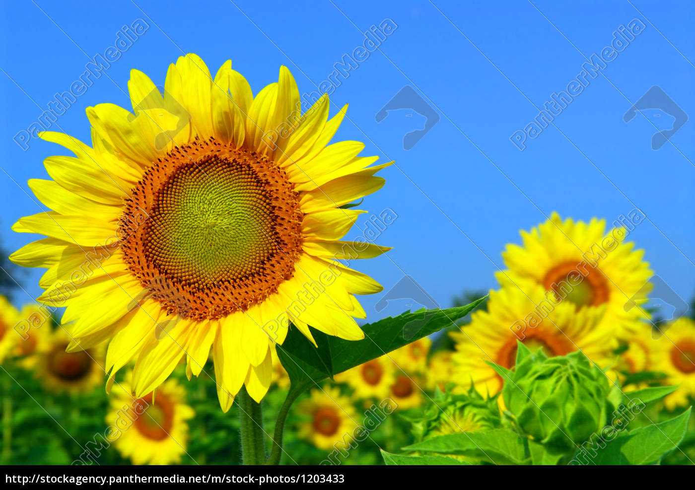 sunflower, field - 1203433