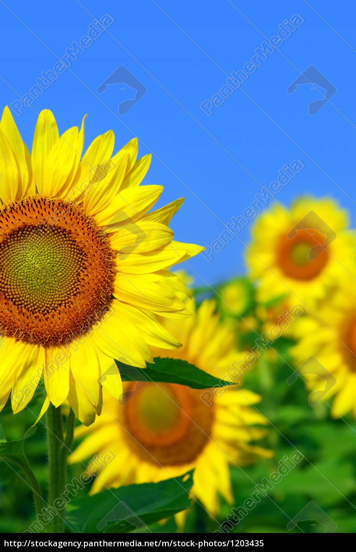 sunflower, field - 1203435