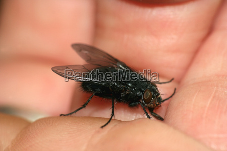tame fly