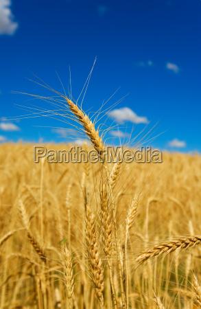 golden, wheat - 1214519