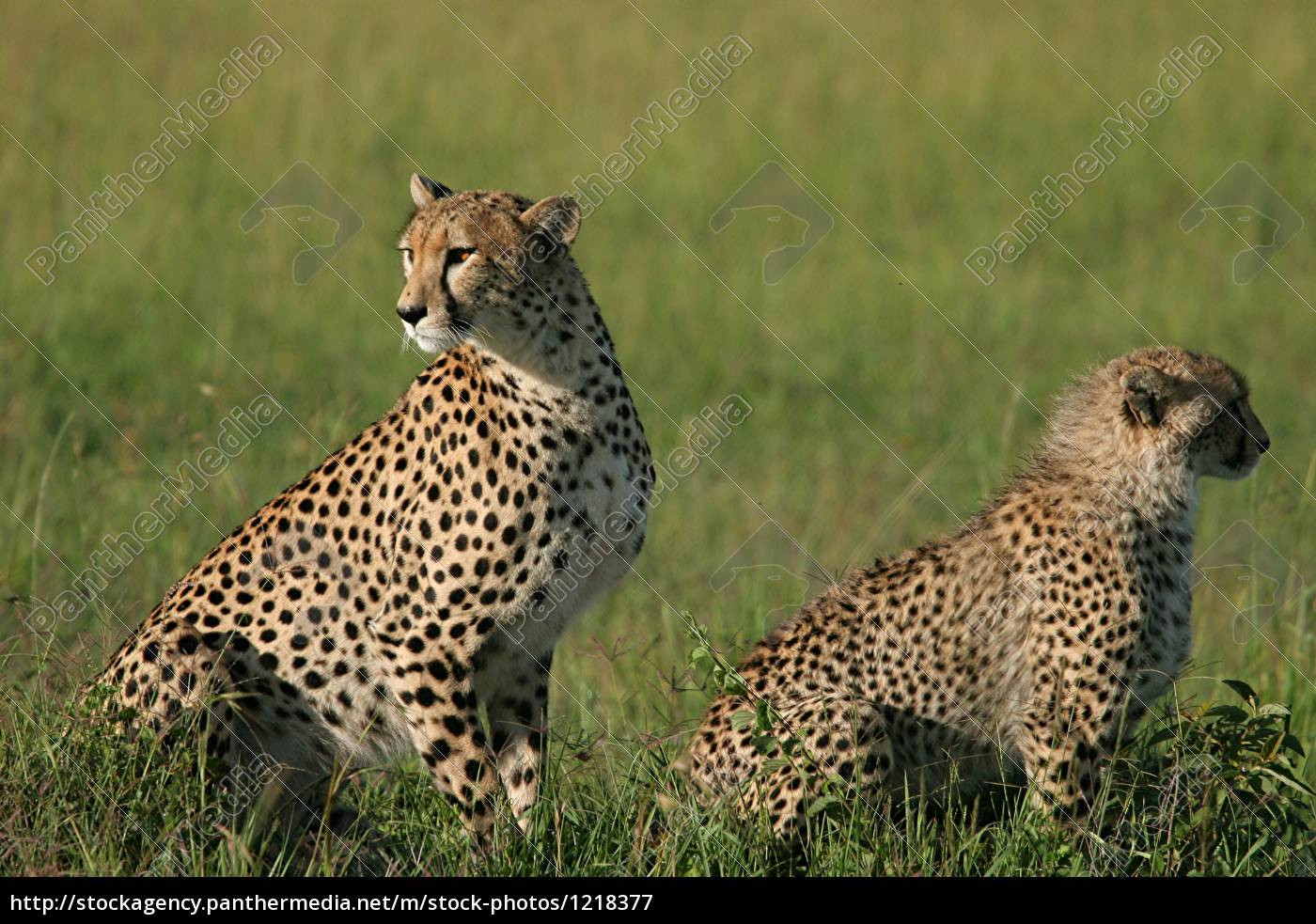 female, sheetah, and, juvenile, kenya - 1218377