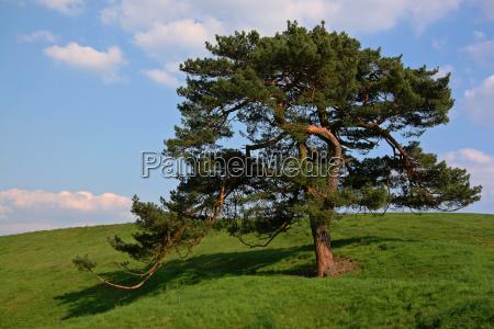 blue tree green pine meadow firmament