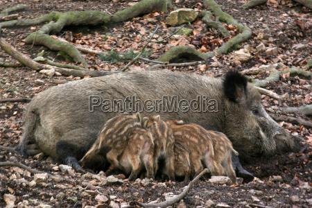 wild boar offspring