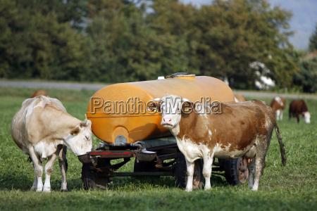 bovine animals during boozing