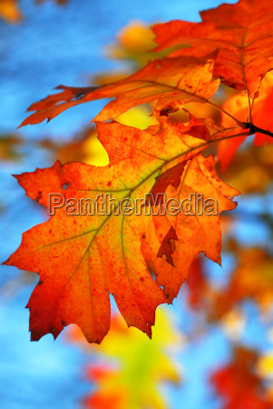 fall, oak, leaves - 1245437