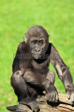 gorilla - 1250671