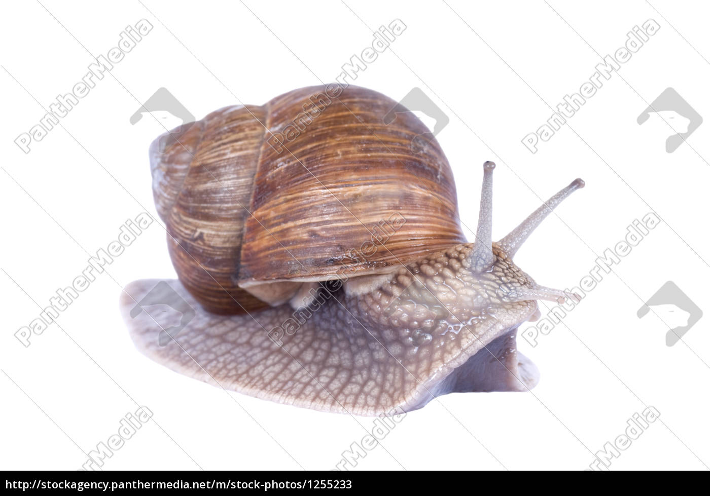 curious, snail, isolated, on, white - 1255233