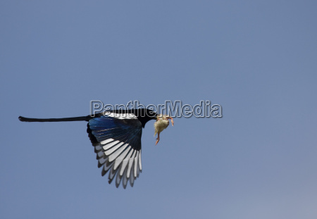 theither magpie