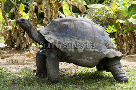 giant turtle in seychelles