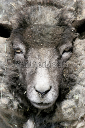 sheep, portrait - 1266339
