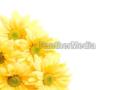yellow, daisies, corner - 1266197