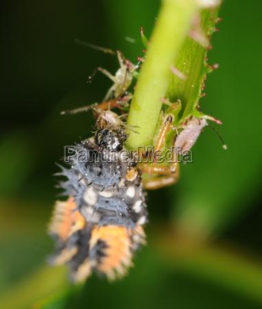 beetle larva eats the aphid