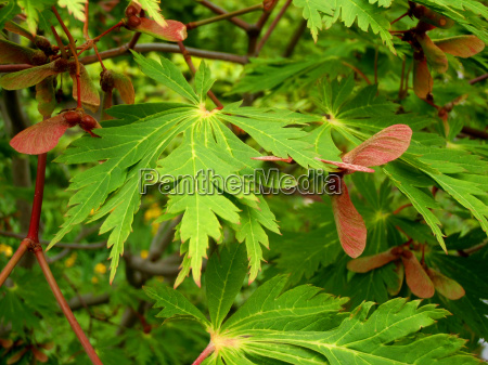 maple seeds maple leaves with
