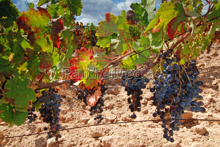 vineyard - 1285813