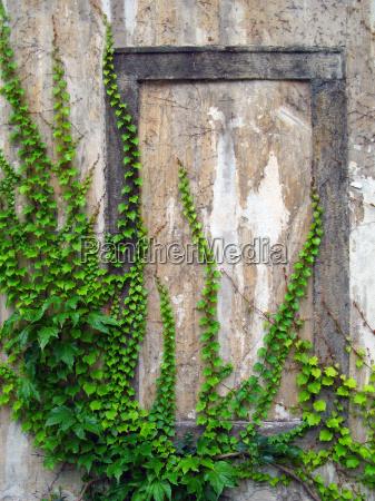 gamle mur med vedbend