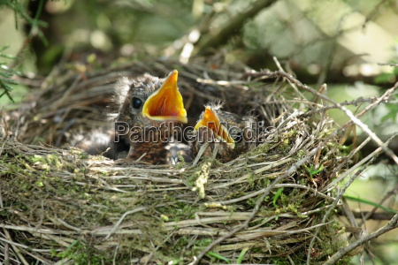 hungry, baby, -, blackbirds - 1309527