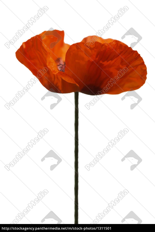 poppy, free - 1311501