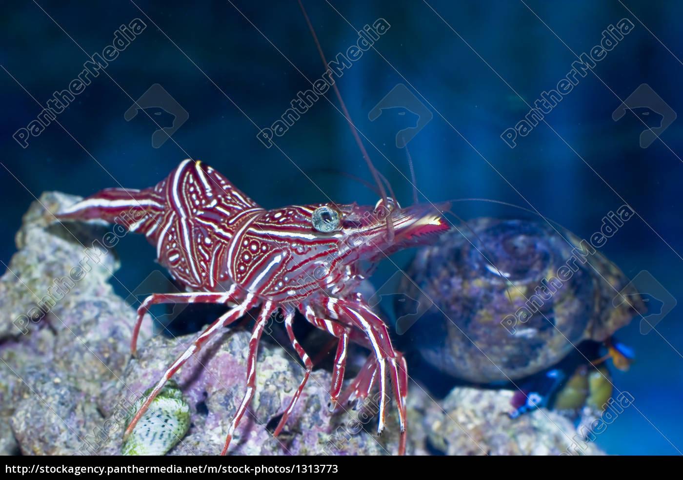 durban, rhynchocinetidae - 1313773