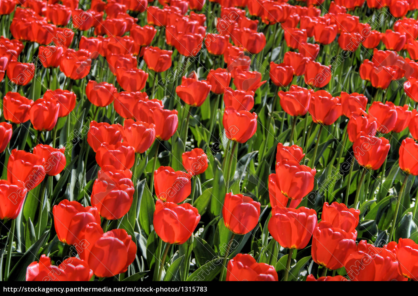 red, tulips - 1315783