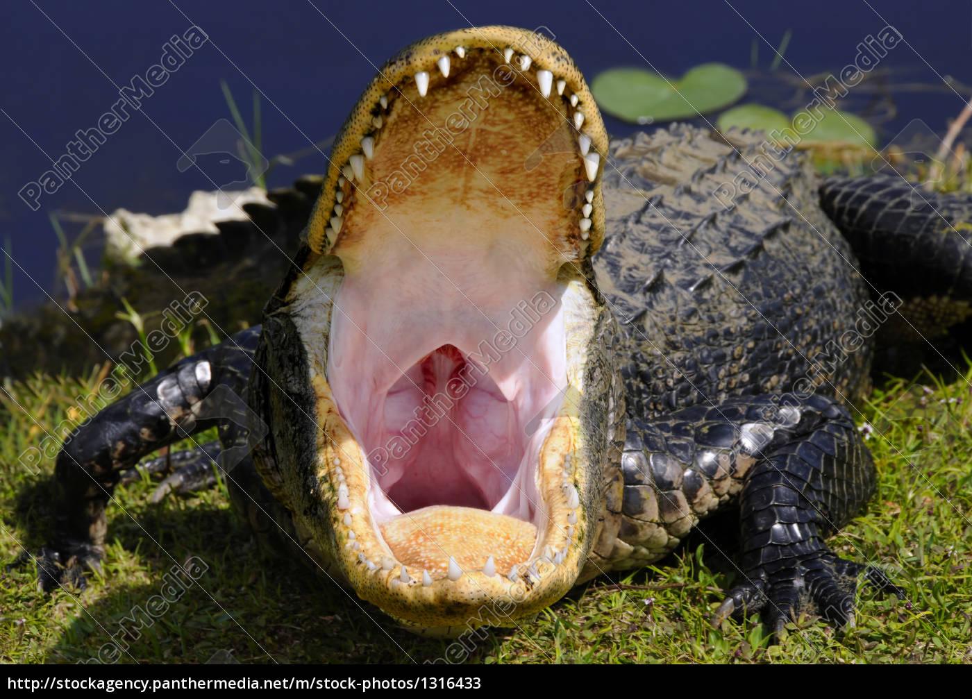 alligator, inside - 1316433
