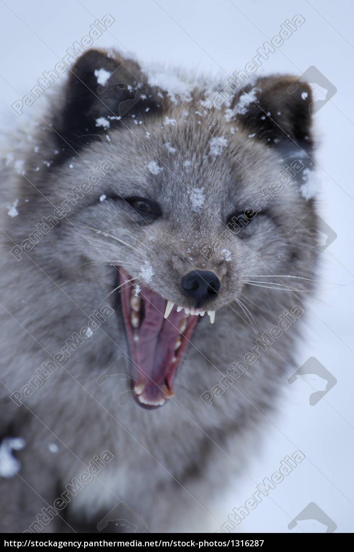 arctic, fox, alopex, lagopus - 1316287
