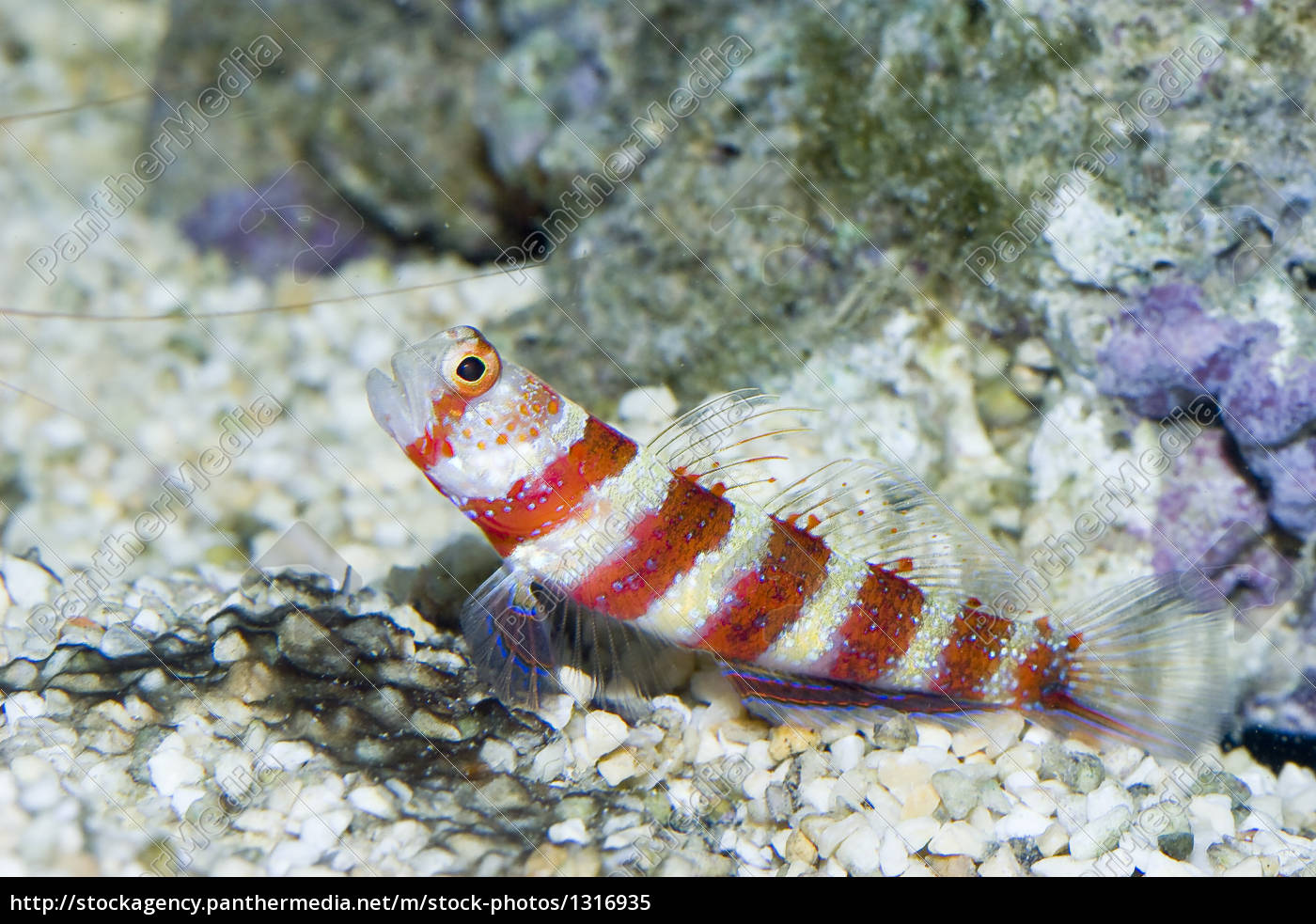 goby - 1316935