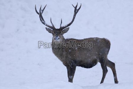 red, deer, during, snowfall - 1316475