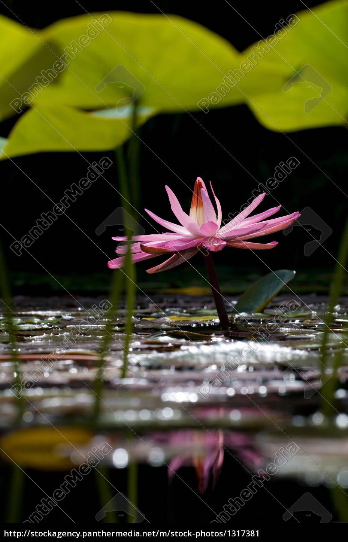 lotus, 4 - 1317381