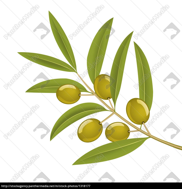 olive, branch - 1318177