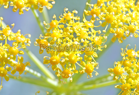 giant, fennel - 1320869