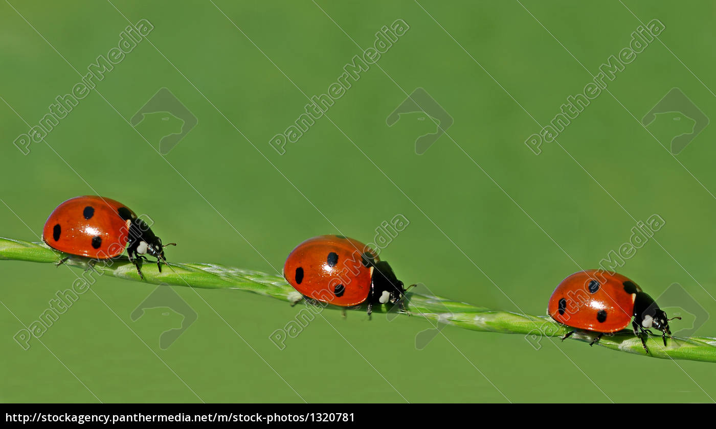 ladybird - 1320781