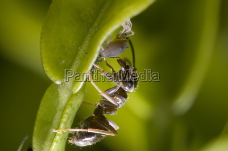 ant when milking an aphid