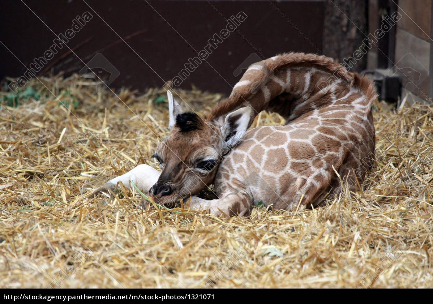 giraffes, young, lying - 1321071