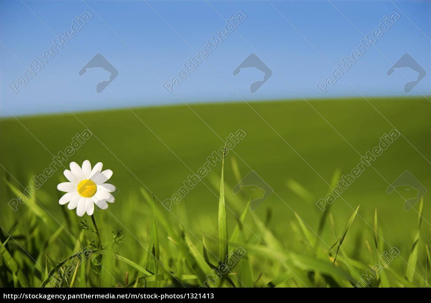 white, daisy - 1321413