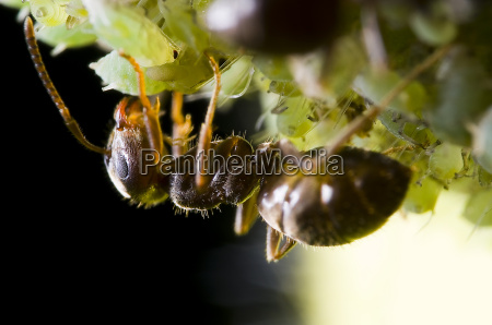 ant during milking an aphid 2