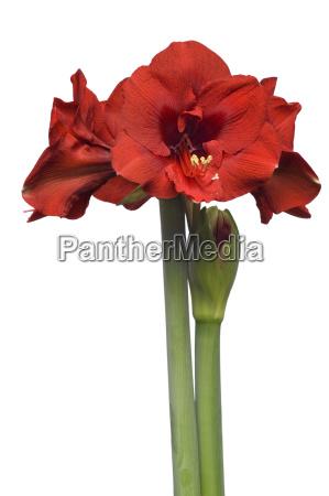amaryllis, hippeastrum - 1326555
